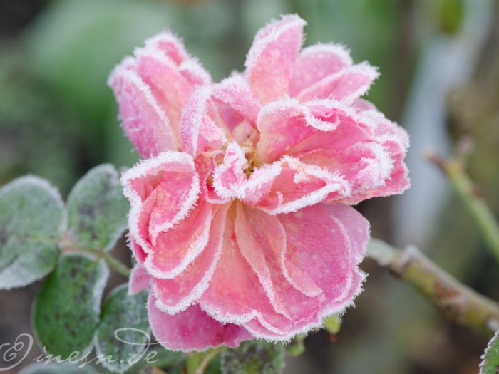 Rauhreif-Rose